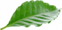 single coffee leaf